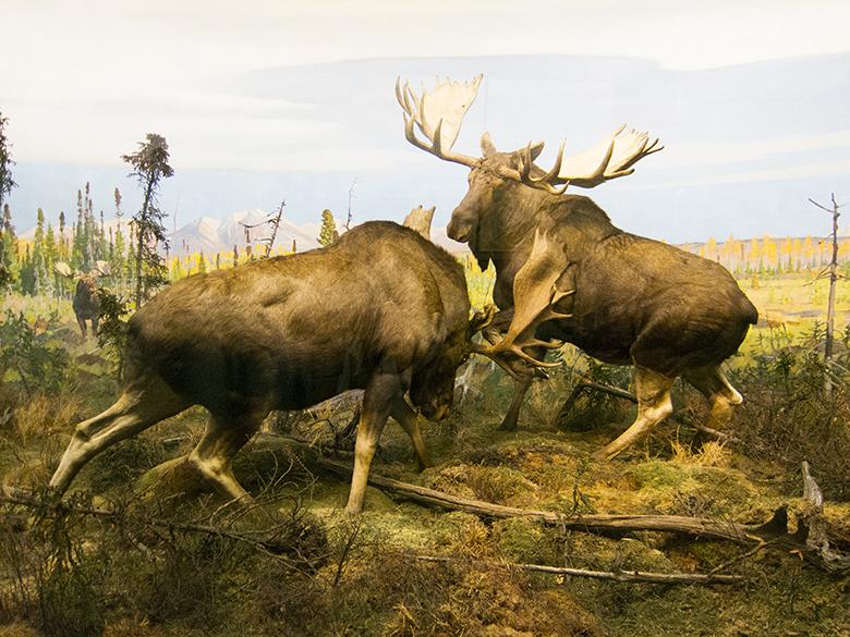 Natural-History-Moose