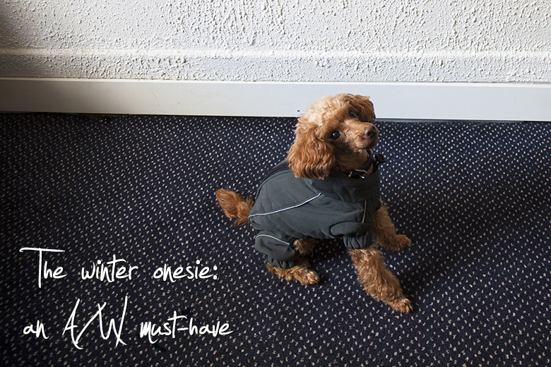 Kanutten the toy poodle shows off her perfect 5 piece French minimalist wardrobe