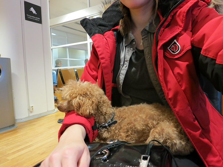 Toy poodle sitting on owner's lap in an airport