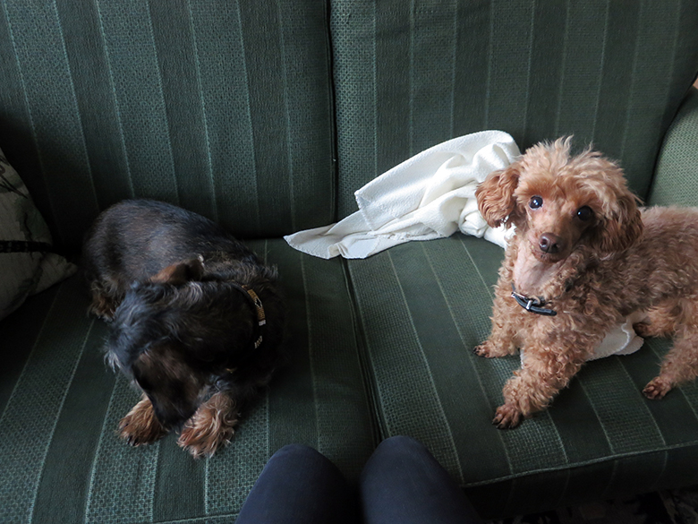 A dachshund and a toy poodle, sitting on a green sofa