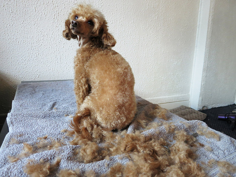 Kanutten the apricot toy poodle shows you her full 90 minute beauty routine, including bath-time, grooming and a manicure. Bonus: a totes adorbs towel-snap!