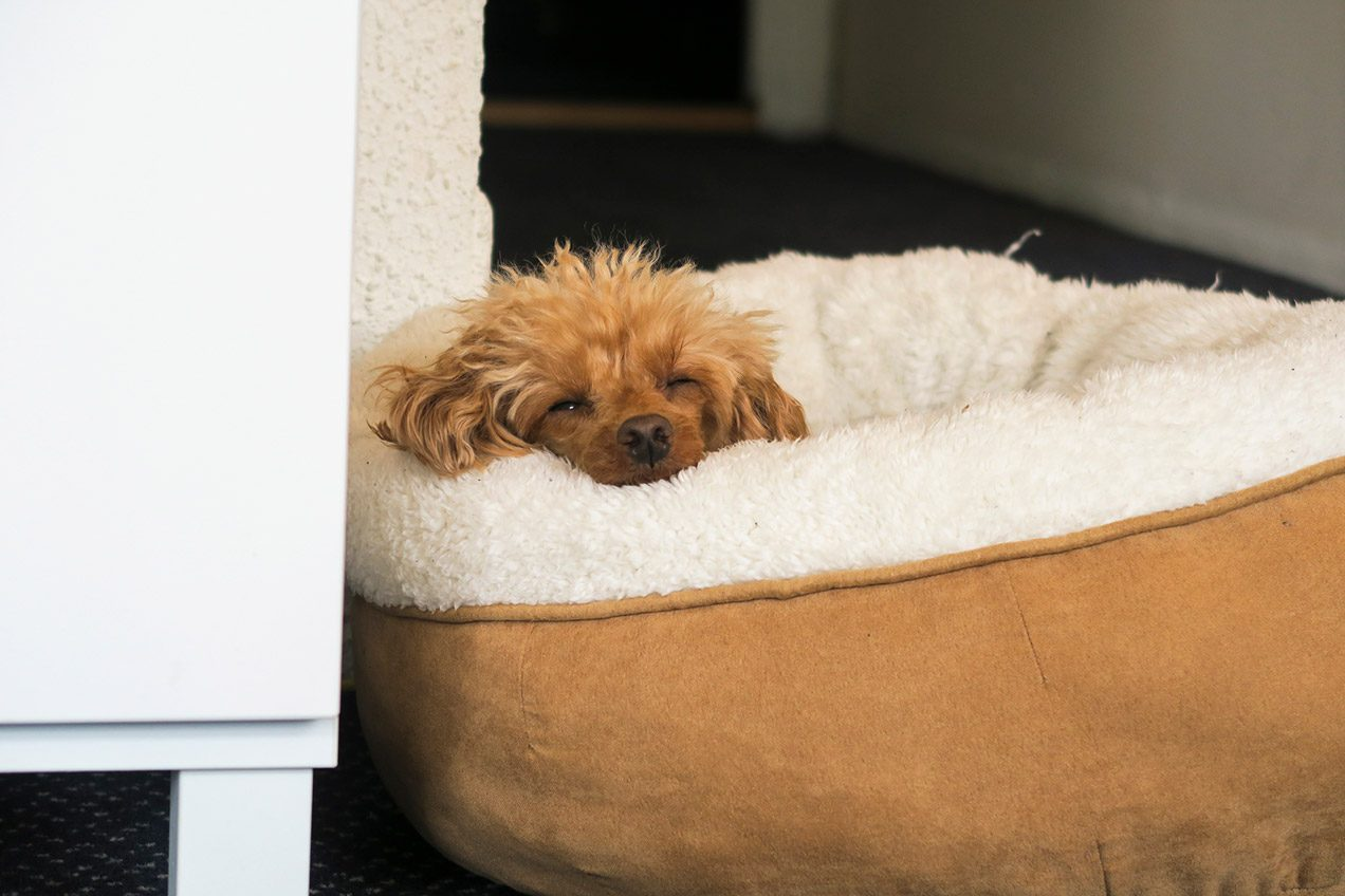 Toy Poodle Kanutten sleeping in a fluffy round dog bed