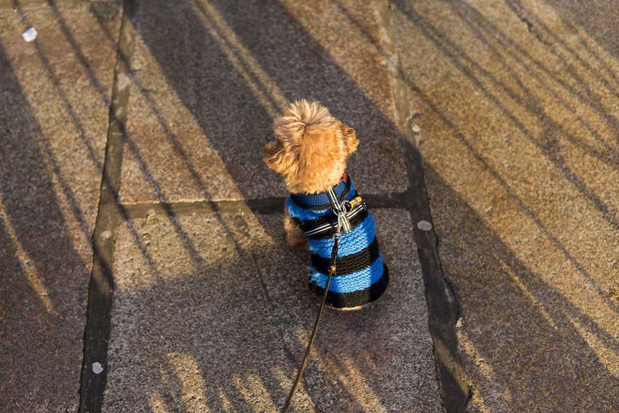 Apricot toy poodle wearing black and blue striped knitted sweater