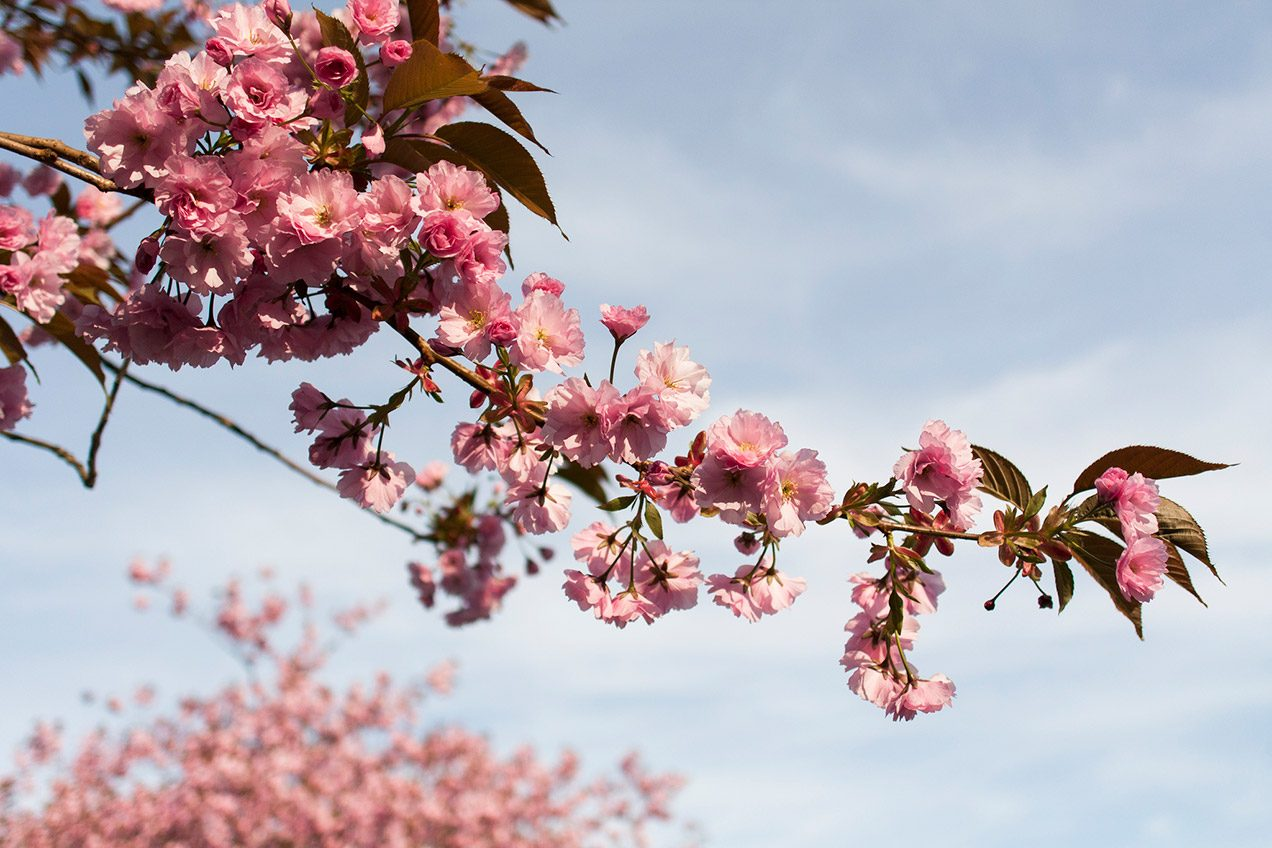Photo of pink cherry blossoms against a blue sky